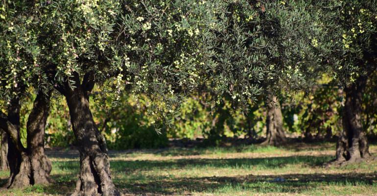 Calendario Trattamenti Olivo Puglia.Importanza Caratteristiche E Problematiche Dell